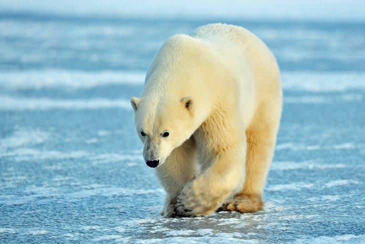 خرس قطبی جاذبه گردشگری کانادا