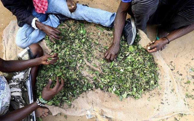 کرونا مانع قات زدن در سومالی شد