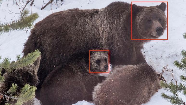 ردیابی خرس&lrm&zwnjهای گریزلی با فناوری تشخیص چهره