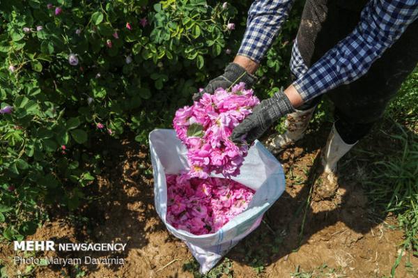 کشت گونه های برتر گل محمدی افزایش می یابد